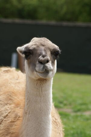 guanicoe: Lama guanicoe - Guanaco