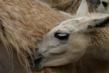 phylum chordata: Lama glama - Llama Foto de archivo