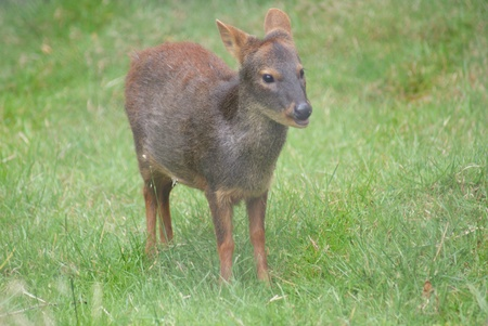 Worlds Smallest Deer - Chilean Pudu - Pudu puda photo