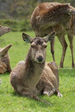 chordata phylum: Manada de ciervos en barbecho - Dama dama