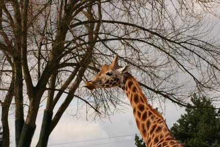 phylum chordata: Giraffe - Giraffa camelopardalis