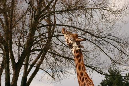 chordata phylum: Giraffe - Giraffa camelopardalis