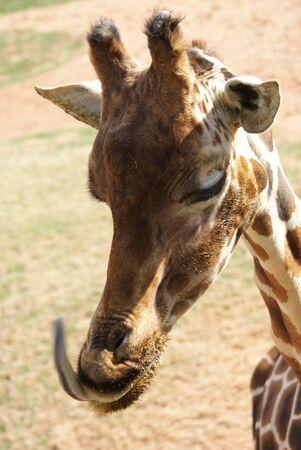 giraffa: Giraffe - Giraffa camelopardalis