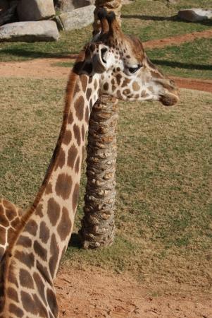 Giraffe - Giraffa camelopardalis photo