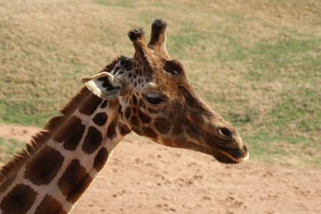 Giraffe - Giraffa camelopardalis photo