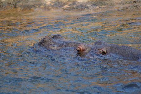 amphibius: Hippopotamus - Hippopotamus amphibius