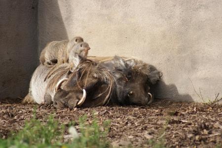 phylum chordata: África Warthog - Phacochoerus africanus Foto de archivo