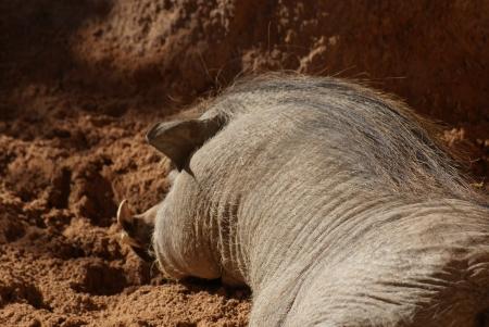 phylum chordata: African Warthog - Phacochoerus africanus Archivio Fotografico