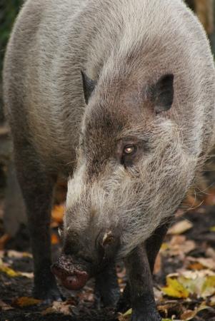 phylum chordata: Sus barbatus - Cerdo barbudo Foto de archivo