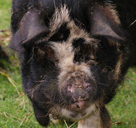 subspecies: Kune Kune Pig - Sus scrofa domesttica - Domestic Pig Breed (Wild Boar sub-species) Stock Photo