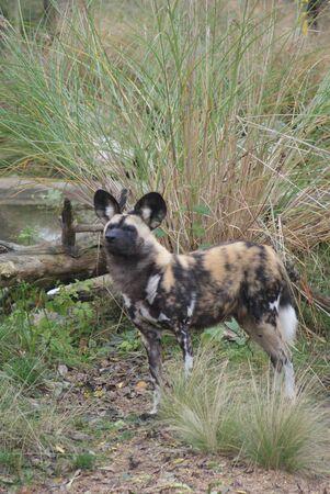 phylum chordata: Perro de Caza africana - Lycaon pictus