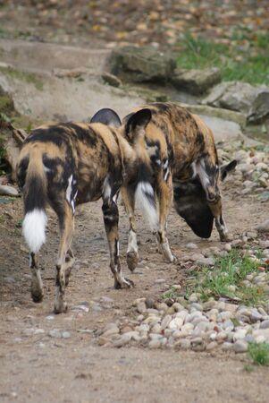 phylum chordata: Caccia African Dog - Licaone pictus