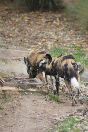 species living: African Hunting Dog - Lycaon pictus