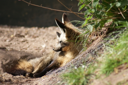 species living: Bat-eared Fox - Otocyon megalotis