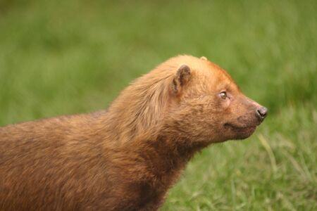 phylum chordata: Bush Dog - Speothus venaticus Foto de archivo