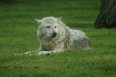 Canadian Timber Wolf - Canis lycaon photo