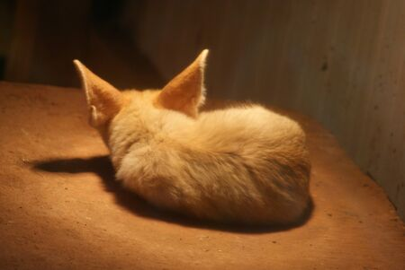 phylum chordata: Fennec Fox - Vulpes zerda