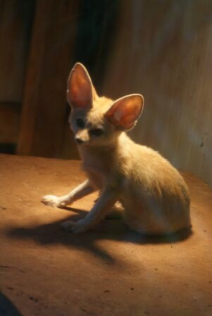 Fennec Fox - Vulpes zerda Stock Photo - 15507944