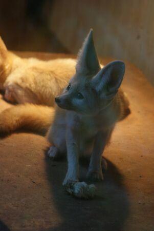 eared: Fennec Fox - Vulpes zerda