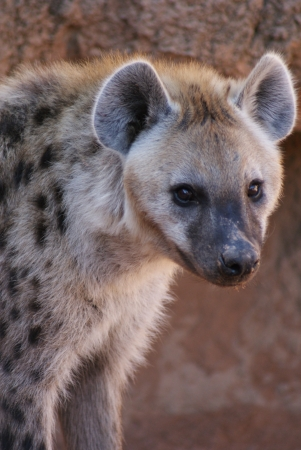 Wild Spotted / Laughing Hyena - Crocuta crocuta Stock Photo - 15508057