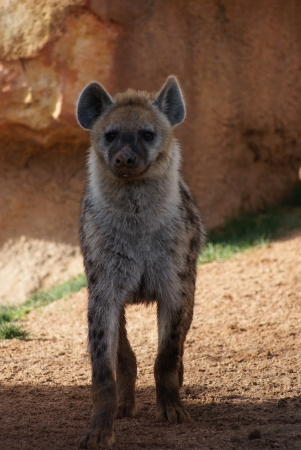 cackle: Wild Spotted  Laughing Hyena - Crocuta crocuta