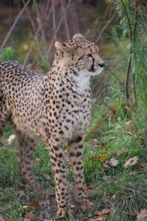 jubatus: Cheetah - Acinonyx jubatus