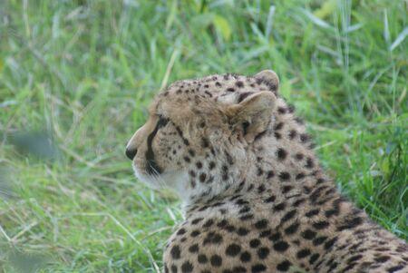 acinonyx: Cheetah - Acinonyx jubatus
