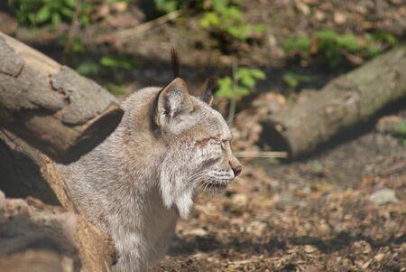 chordata phylum: Eurasiático Lynx - Lynx lynx