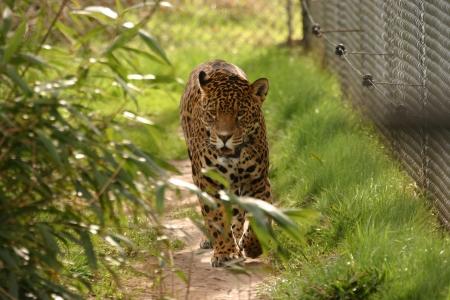 Jaguar - Panthera onca Stock Photo - 15507908