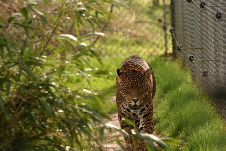 phylum chordata: Jaguar - Panthera onca