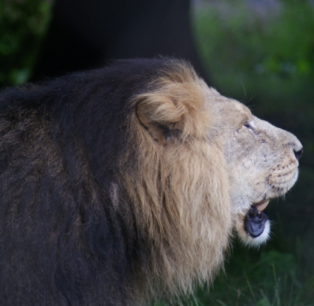 chordata phylum: Asiatic Lion - Panthera leo persica Foto de archivo