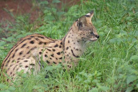 chordata phylum: Serval - Leptailurus serval