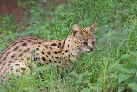 phylum chordata: Serval - Leptailurus serval