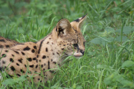 species living: Serval - Leptailurus serval