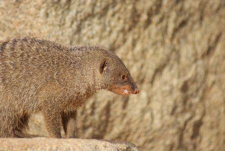 mangosta: Banded Mongoose - Mungos mungo Foto de archivo