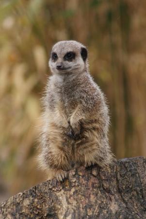 Close-up image of a Meerkat - Suricata suricatta Stock Photo - 15644456