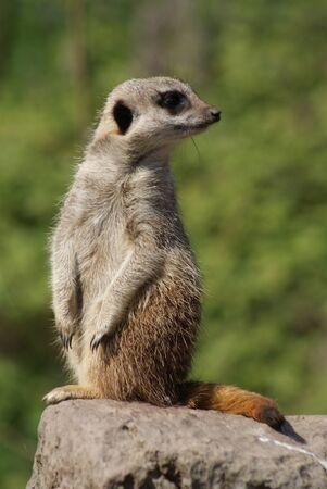chordata phylum: Imagen de primer plano de un Meerkat - suricatta Suricata