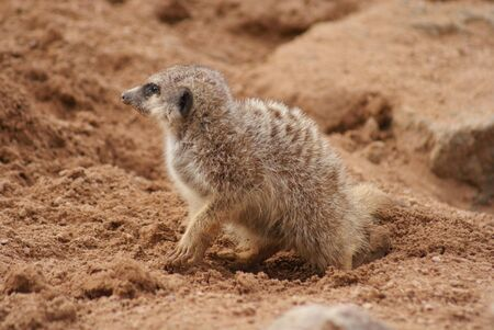 phylum chordata: Close-up immagine di un Meerkat - Suricata suricatta