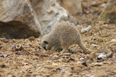 phylum chordata: Imagen de primer plano de un Meerkat - suricatta Suricata