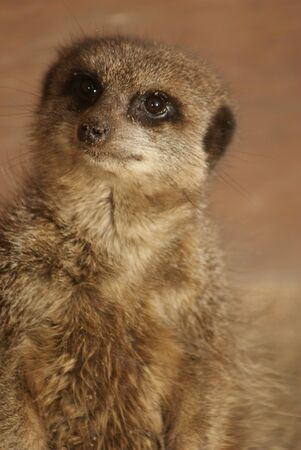 species living: Close-up image of a Meerkat - Suricata suricatta Stock Photo