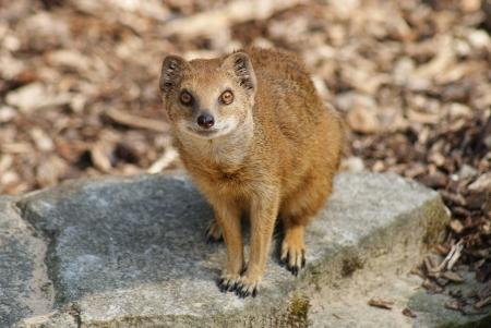 mangosta: Yellow Mongoose - Cynictis penicillata