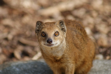 Yellow Mongoose - Cynictis penicillata