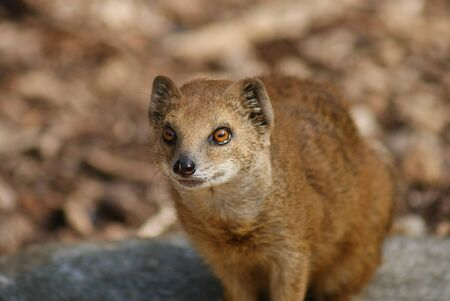 mongoose: Yellow Mongoose - Cynictis penicillata
