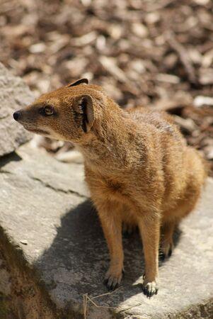 mongoose: Yellow Mongoose - Cynictis penicillata
