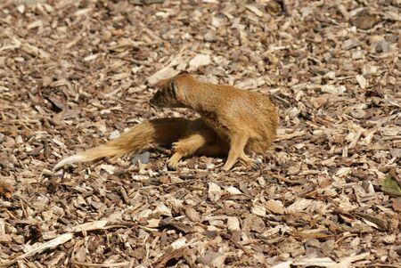 phylum chordata: Yellow Mongoose - Cynictis penicillata