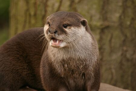phylum: Oriental Small-clawed Otter - Aonyx Cinerea