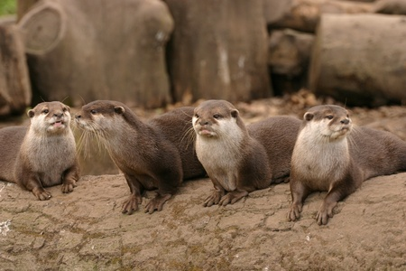 cinerea: Oriental Small-clawed Otter - Aonyx Cinerea
