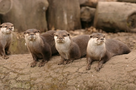 species living: Oriental Small-clawed Otter - Aonyx Cinerea