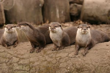aonyx: Oriental Small-clawed Otter - Aonyx Cinerea