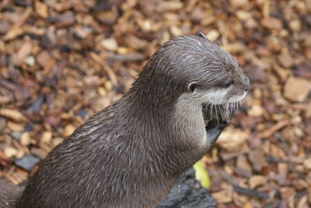small clawed: Oriental Small-clawed Otter - Aonyx Cinerea